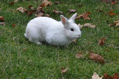 Whithe rabbit on a greeny lawn. royalty free stock photography