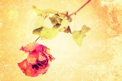 A whithered rose on vintage grungy  background Royalty Free Stock Photos