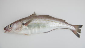 Whiting fish Royalty Free Stock Photo