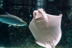 Whitish belly of Cownose ray Rhinoptera bonasus. With its broad head, wide-set eyes and set of dental plates. Cownose rays have barb at the tail and weak venom royalty free stock images