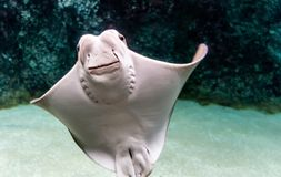Whitish belly of Cownose ray Rhinoptera bonasus royalty free stock images