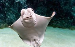 Free Whitish Belly Of Cownose Ray Rhinoptera Bonasus Royalty Free Stock Images - 131578619