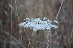 Whitish blommor Arkivfoton