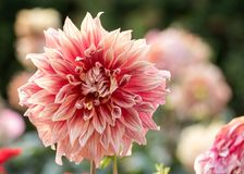 Whitish Pink Dahlia flower. Whitish Pink Dahlia blooming flower Royalty Free Stock Image