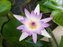 The Whitish Purple Lotus. Blooming Stock Images