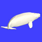 Whitle adult male beluga whale Stock Image