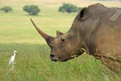 whito носорога Стоковые Фотографии RF