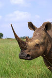 Whito Nashorn Lizenzfreie Stockfotografie