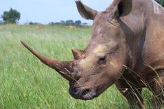 Whito Nashorn Lizenzfreies Stockfoto