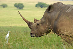 Whito rhino Royalty Free Stock Photos