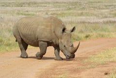 Whito rhino Stock Image