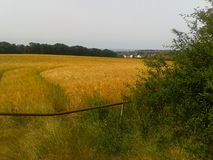 Whitstable crops. Field kent crops Royalty Free Stock Images