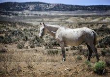 Whity da faixa do cavalo selvagem de bacia de lavagem da areia Fotografia de Stock Royalty Free