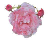 Whity-pink rose 4 Stock Image