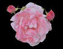Whity-rose se sont levés 3 Photos stock
