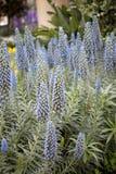 Wählen Sie blauen Stolz-von-Madeira vor (Echium candicans) Stockfotografie