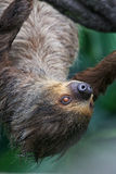 Who did awake me?. Awaken Sloth hanging from a branch, portrait with the sloth staring into the camera Stock Photo