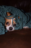 Who disturbs my sleep. A small dog peeks out from under a blanket Stock Photos