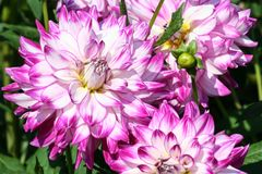 Who dun it sort of asteraceae one flower close-up entirely and two half,. Large purple flowers with white color and a yellow core, sunny autumn day, green royalty free stock photography