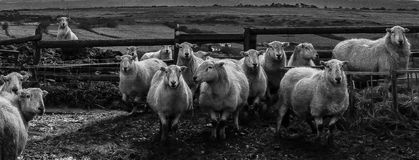 Who are ewe looking at!. A small flock of sheep in a sheep pen on a hill farm above the town of Bridgend, Wales Royalty Free Stock Photos
