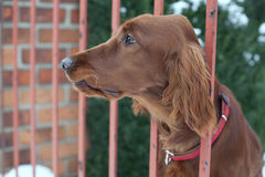 Who goes there!?. Very cute guard dog poking his head through the fence and lookin Royalty Free Stock Photography