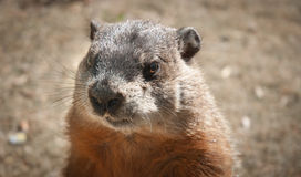 Who am I?  I'm a gopher. Stock Image