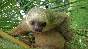 Who is lazy?. Sloth has so funny look. it`s looks like asking: What do you want Stock Photography