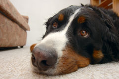 Who'll take me for a walk?. Close up portrait of a Bernese Mountain Dog (also known as Bouvier Bernois or Berner Sennenhund), looking up mournfully, hoping to be Stock Photography