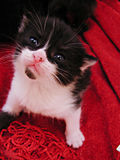 Who Me?. Black and white kitten Royalty Free Stock Photo