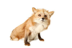 Who Me?. Studio portrait of a Red Fox isolated on a white background Royalty Free Stock Images