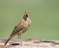 Who me. A Rufous-naped Lark with beak open towards camera Stock Images