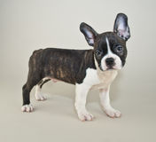 Who Me?!. Silly French Bulldog puppy that looks like someone just asked him a question Royalty Free Stock Images