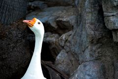 Who Me? A single goose head, neck and beak, among rocks and tree trunk in the background. stock photos