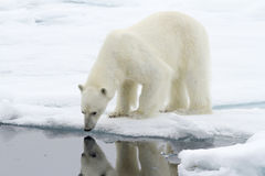 Who is the most beautiful Polar Bear in Svalbard? stock photography