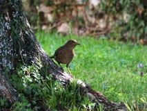 Who's callin'? - Blackbird female (Turdus merula) Stock Photo