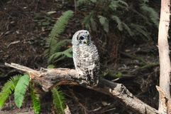Who's that?. Spotted Owl photographed in Muir Woods National Monument located in California royalty free stock images