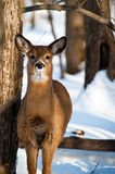 Whos there?. A whitetail deer standing and listening in the forest, nerby Montreal, Quebec, Canada Stock Photo