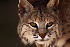 Who's There?. A close-up of an adult male bobcat (lynx rufus Royalty Free Stock Image