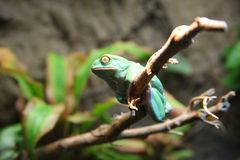 Who's there. Atlanta Georgia Atlanta Zoo. A large green frog is perched on a branch with a wide eyed look Stock Photo