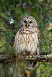 Who's Watching Who?. Barred Owl perching in a tree against a blurred background Stock Photo