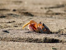 Who is there?. A beach crab takes a quick look out of its burrow Stock Photography