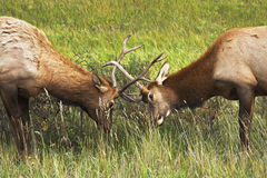 Who from two deers is stronger Stock Photography