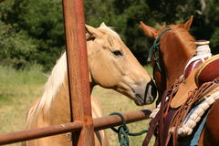 Who are you?. Two horses meeting over fence, one with saddle on stock photo