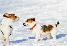 Who are you? curious puppy meets another dog. Pair of Jack Russell Terriers on a walk Stock Image