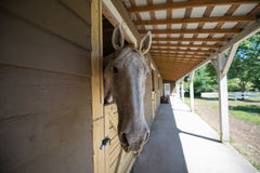 Who are you? -3 Gray horse in stall. Inqusitive horse in stable stall Stock Photography