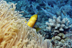 Who Are You Looking At?. Toothy clown fish in golden anemone, Moorea, French Polynesia Stock Photo