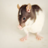 Whodunnit. Little rat covers her nose Royalty Free Stock Photography
