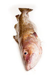 Whole Atlantic cod (Gadus morhua) fish, Isolated on a white stud Royalty Free Stock Photos