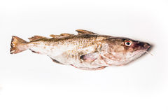 Whole Atlantic cod (Gadus morhua) fish, Isolated on a white stud Stock Image