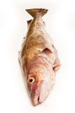 Whole Atlantic cod (Gadus morhua) fish, Isolated on a white stud Stock Images